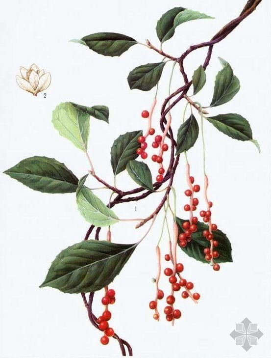 Marvelous schisandra chinensis