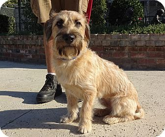 Pictures of Cooper a Basset Hound/Schnauzer (Miniature) Mix for adoption in Lathrop, CA who needs a loving home.