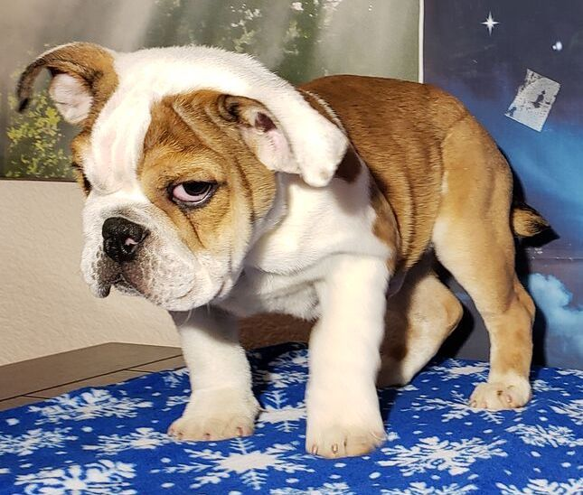 Dexter Is A Fawn Male English Bulldog Puppy American Born And