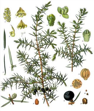 Juniper berries are used most often in the treatment of urinary problems, like edema, kidney stones, and lower back pain. Juniper is helpful in the treatment of gout, bursitis, muscle pain, and rheumatoid arthritis because it helps to prevent the buildup of uric acid in the system, and is an antiinflammatory. Juniper berries are a mild diuretic that stimulate urination without causing loss of electrolytes. Drink a flavorful cup of juniper berry tea after a heavy meal to reduce indigestion.