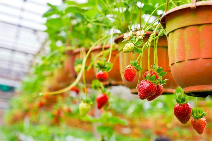 Dicas para cultivar morangos em vasos