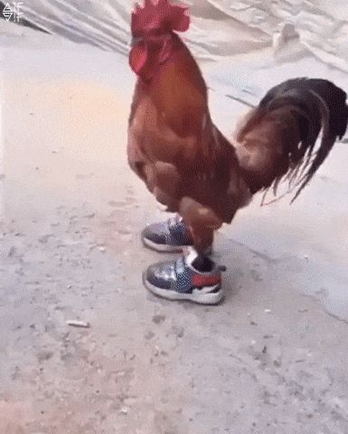 New party member! Tags: chicken sneakers chicken in sneakers