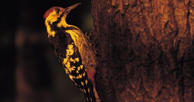 Cómo hacer comida para pájaros carpinteros . Varias especies de pájaros carpinteros visitan con frecuencia los comederos en los patios traseros de todo el país. Algunas especies comunes como el pájaro carpintero velloso y el carpintero de vientre rojo con frecuencia habitan áreas urbanas y hacen sus nidos en árboles huecos y cajas de nidos. Al no ser migratorios, visitan todo el año los ...