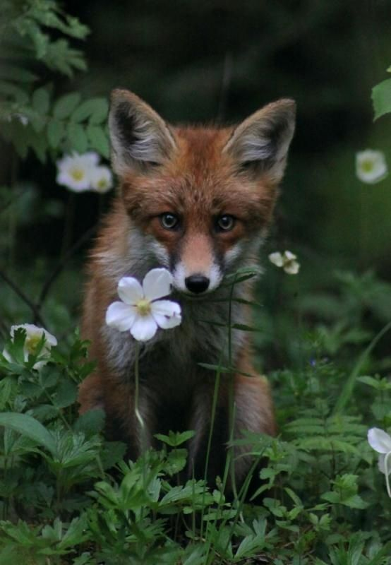 Where Treasures ResideLittle Red, Nature, Beautiful, Daisies, A Tattoo, Baby Foxes, Red Foxes, Flower, Animal