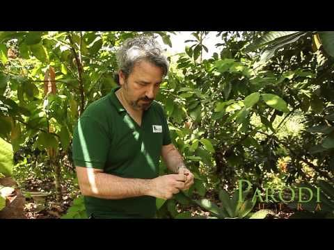 "▶ Around the World to discover the ""Sapote Super Fruit"" - PARODI NUTRA ITALY - YouTube"