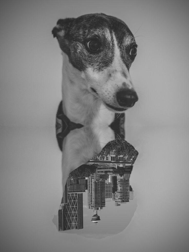 .Stella #portrait  #photography  #monochrome  #black&white  #dogsessions  #whippet  #citydog  #inside  #yyc  #calgary  #irvingcreaphotos  #mexicanphotographer