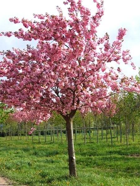 Prunus serrulata  sur tige