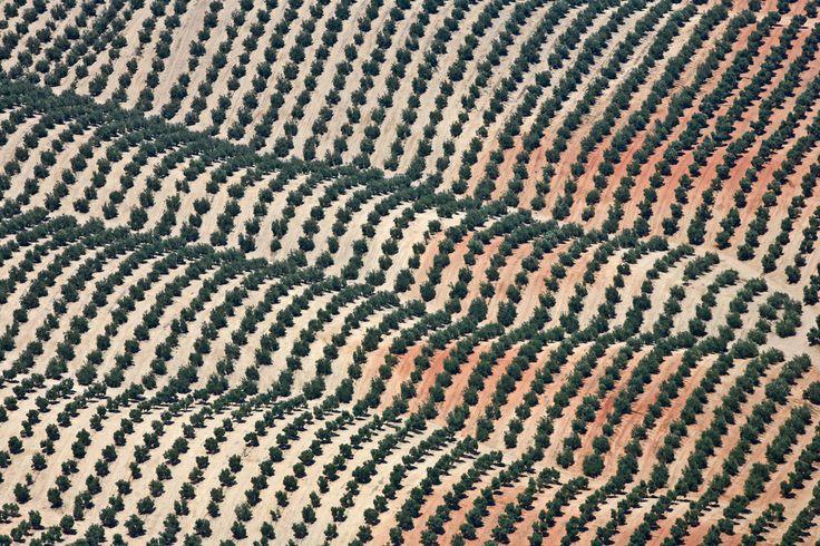 Luftbild von endlosen Olivenfeldern in hügeliger Landschaft in Spanien