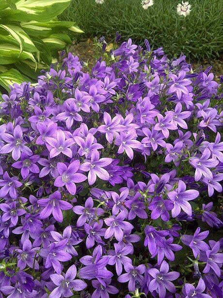 Bell-flower: Campanula [Family: Campanulaceae]