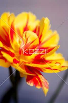 One Open Tulip - An open yellow and red tulip against a solid background