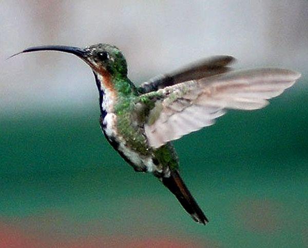 Pin En Hummingbird