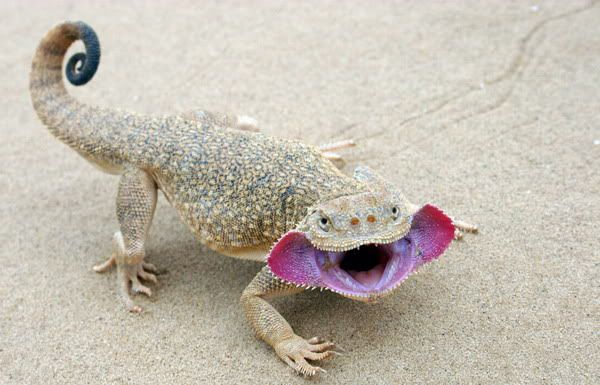 A Russian Agama lizard with a very alien mouth. Its the kinda thing we monster makers go wild over!