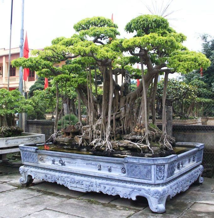 Enorme Ficus bonsai con raíces aéreas silvestres. Tengan en cuenta que el árbol parece estar rodeado por agua, lo que significa que está creciendo en casi nada de tierra. Increíble!!