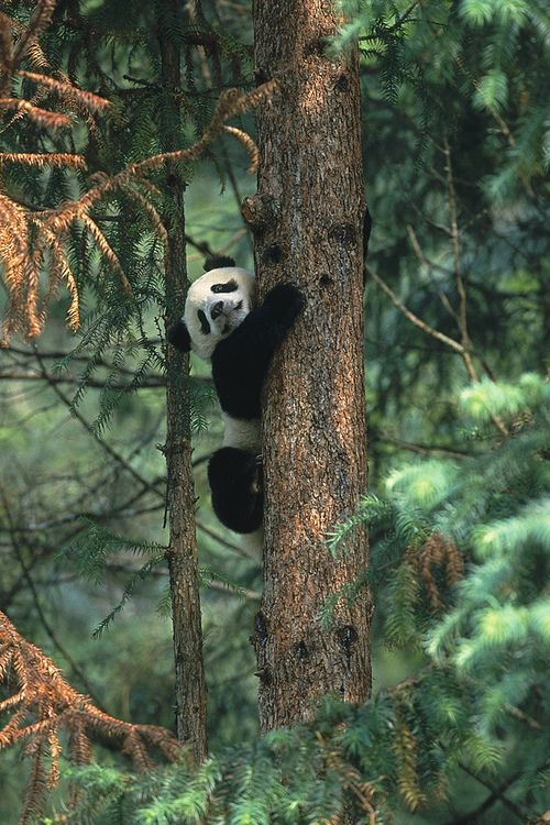 Panda cub in tree (by Official San Diego Zoo)