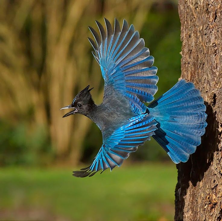 El arrendajo de Steller o chara crestada es un ave de la familia de los córvidos.https://plus.google.com/+GillesJOYEUXCreuse/posts/Dx7MyaGiiwE
