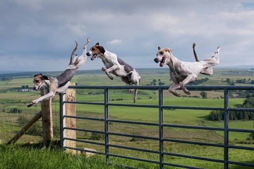 treeing walker coonhounds. Yea like our fence is going to keep Sadie in.