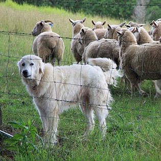 What is the Difference Between a Livestock Guard Dog and a Family Companion? From MOTHER EARTH NEWS magazine.