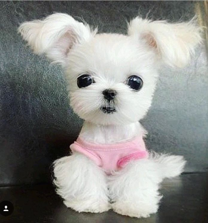 Download Maltese Chubby Adorable Dog - 2c78773e6184ecd9e3b0d2a3f06e8444--maltese-animals  2018_623848  .jpg