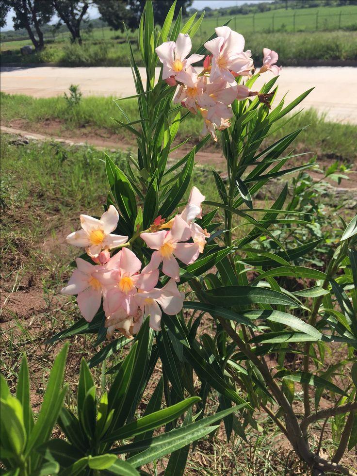 Narcisos, flores color peach