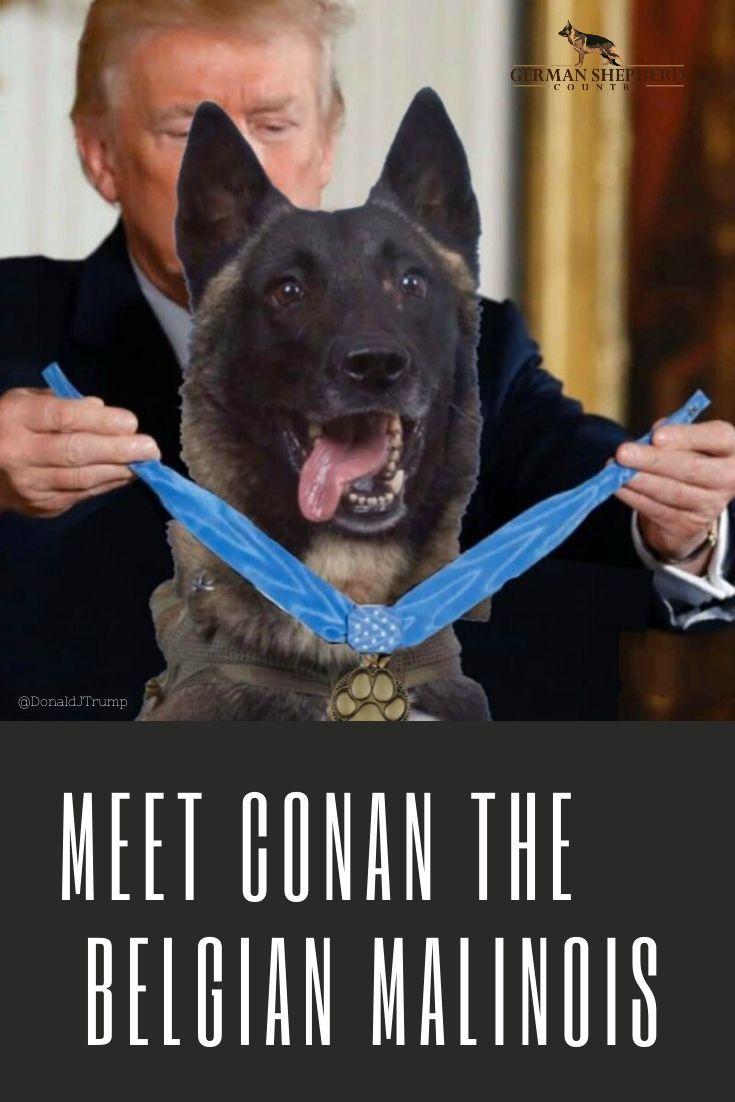 Heroic American Service Dog Is A Female Belgian Malinois