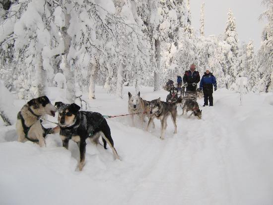 Kakslauttanen Hotel & Igloo Village: Husky Safari - Our dogs