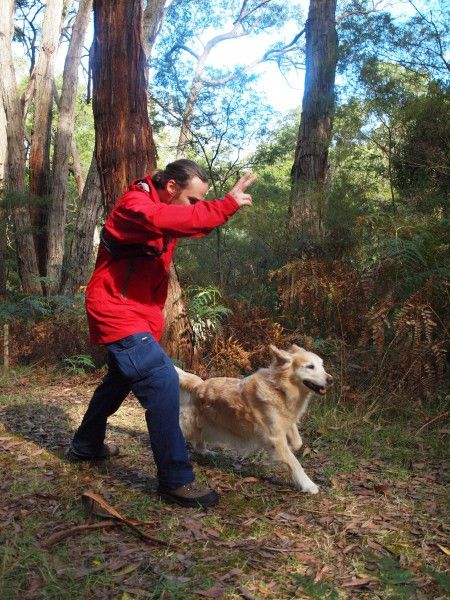 Otways Conservation Dogs Instructor, Luke Edwards from South West Victorian Dogs, training Delta the detection dog in the forests of Cape Otway