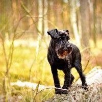 #dogalize Razze cani: il cane Schnauzer carattere e prezzo #dogs #cats #pets