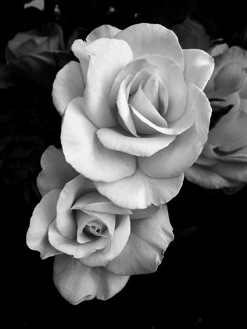roses  | black and white