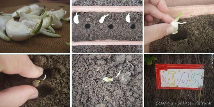 Taller de ajos para los peques - Planting garlic with the kids