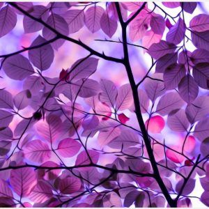 Purple Leaves Wallpaper | purple leaves wallpaper