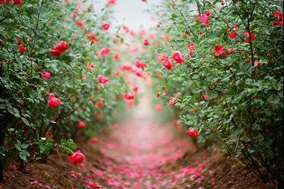 ...The Roads, Rose Gardens, Gardens Paths, Little Gardens, Red Rose, Pink Rose, Flower, Rose Petals, Backyards Gardens