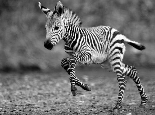 Don't worry: the zebra's legs won't break   photo black & white . Schwarz-Weiß-Fotografie . photographie noir et blanc   @ Cutest Paw  