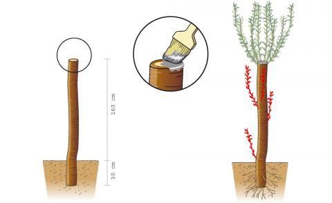 Kopfweide pflanzen