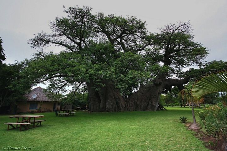 This South African 1000 Year Old Tree Has An Unusual Secret Inside