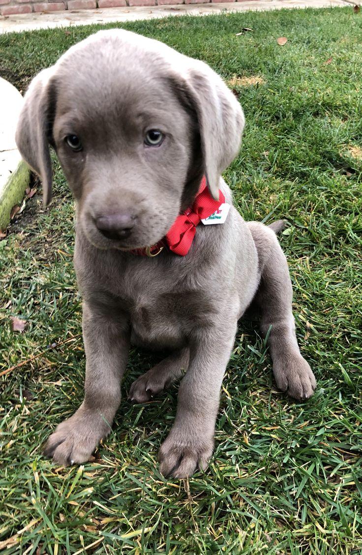 Silver Labrador Retriever, Silver Lab Puppy, female