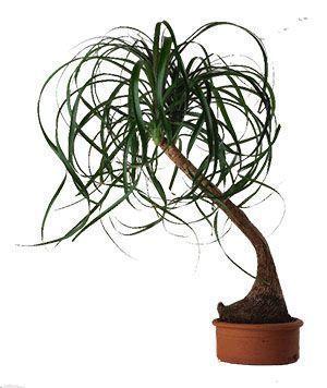 (Beaucarnea Recurvata). Conocido como pie de elefante, pata de elefante, especie muy longeva planta de interior. Cuidados, riego, sustrato. #plantasdeinterior