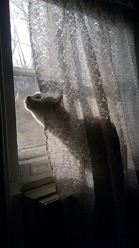 A kitty taking up her window post from behind the sheers --- looks likes she's spotted something interesting.