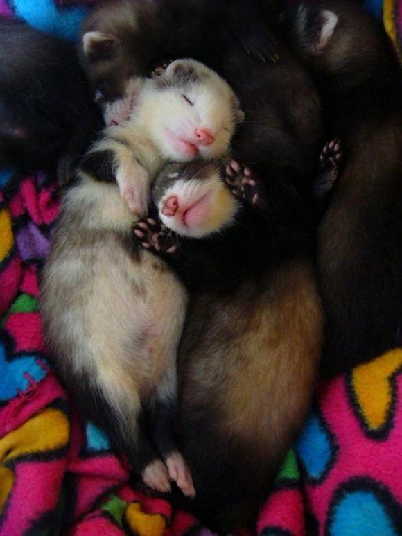 cute sleeping baby ferrets