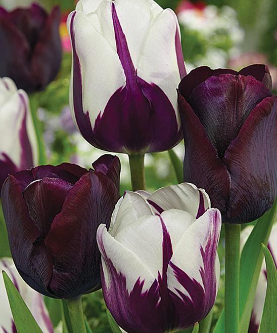 Spring Hill Nursery Blueberry Chocolate Tulip Blend Bulb #zulilyfinds