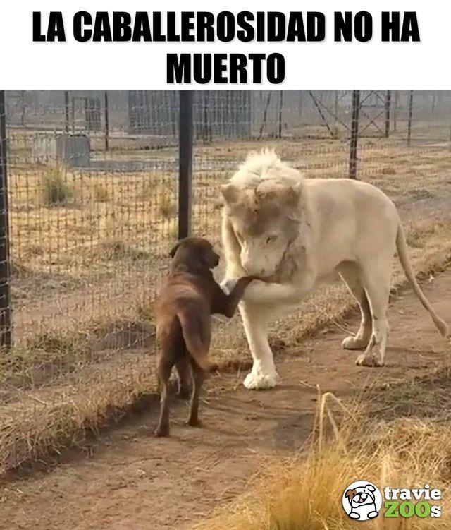 Comparte Este Leon Blanco De La Suerte Para Que Encuentres Un Caballero Asi De Educado Leon Beso Saludo Kiss C Memes Perros Perros Frases Perros Chistosos