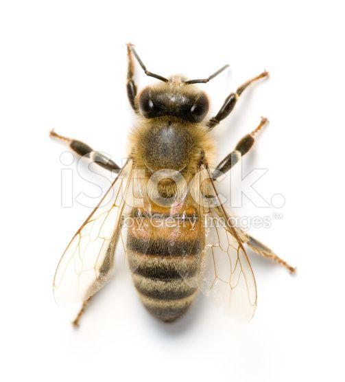 abeille vu de dessus - Recherche Google