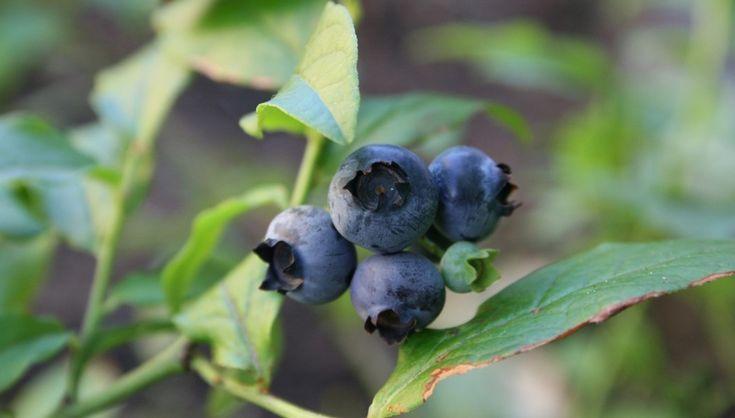 Odla blåbär | Blomsterlandet.se