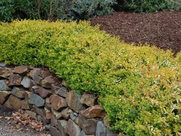 abelia x orientalis abelia kaleidoscope hedge garden pinterest. Black Bedroom Furniture Sets. Home Design Ideas