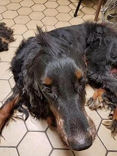 Gordon Setter Dog for adoption in Clarkston, Michigan - Cinna