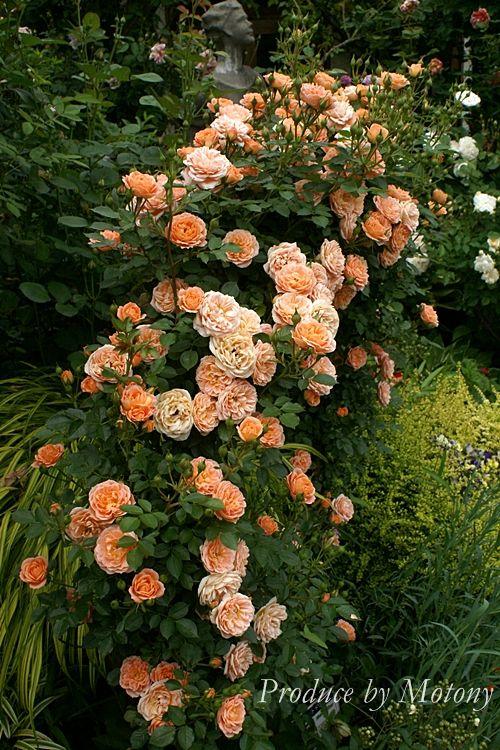 Sweet Dream  beautiful climbing roses