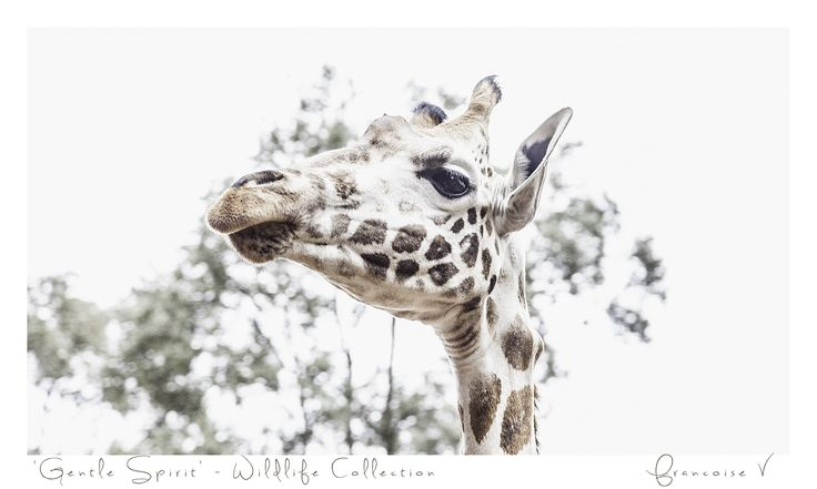 """Gentle Spirit"" {Wildlife Collection} by Francoise V"