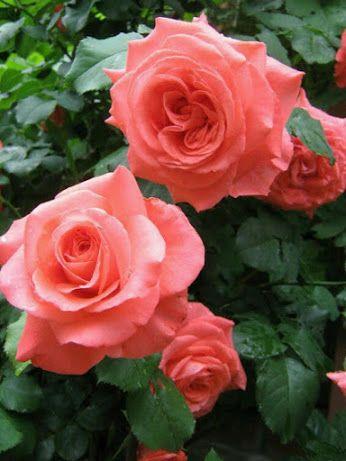 Gyönyörű rózsák – Közösség – Google+