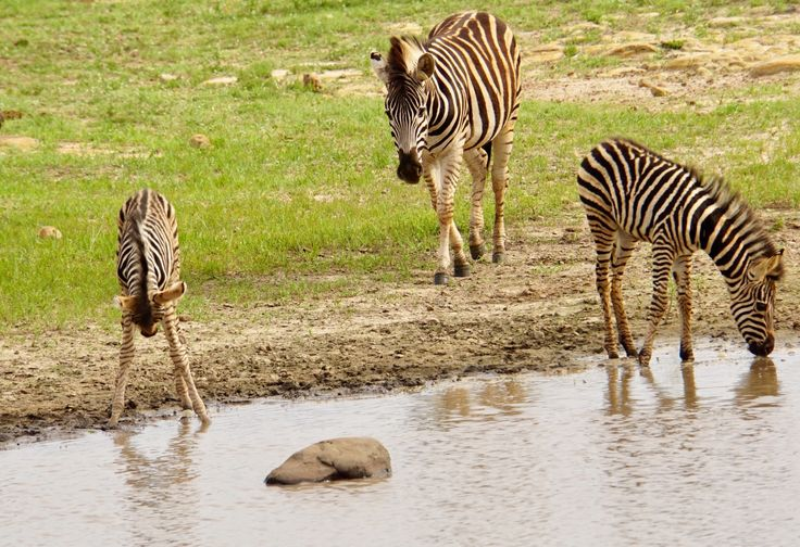 The Acrux Expedition » Africa with fresh eyes. Cute zebra kid learning to drink water. Mkhaya Game Reserve.