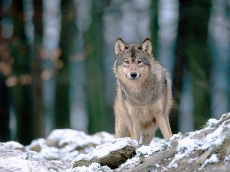 #wolves: Heart, Wolves, Wild Animals, Pictures, Wildlife, Wolves, Wolf, Wolf Spirit