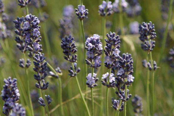 5 gyógynövény a testi-lelki békéért / 5 medicinal plants for the bodily-spiritual peace Forrás/source: morguefile.com